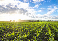 Cornfield sun and blue sky in the morning Royalty Free Stock Image