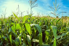 Cornfield on a sunny day, corn leaves, distortion perspective fisheye lens view. Cornfield on a sunny day, corn leaves close up, distortion perspective fisheye royalty free stock photo