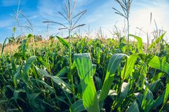 Cornfield on a sunny day, corn leaves, distortion perspective fisheye lens view royalty free stock images