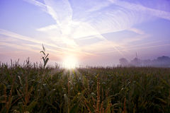 Cornfield at sunrise Royalty Free Stock Photo