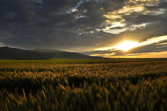 Cornfield sunrise. China xinjiang cornfield sunrise in the morning Royalty Free Stock Images