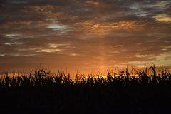 CORNFIELD AT SUNRISE WITH CLOUDS IN SKY. The tops of a cornfield stand as a silhouette against a brilliant sunrise stock photos
