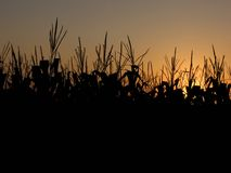 Cornfield At Sunset Stock Photo