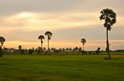 Cornfield on sunset background. Silhouette palm tree on sunset background Royalty Free Stock Photos