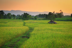 Cornfield. Sunset of Thailand Stock Images