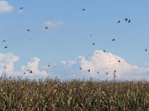 Cornfield and swallows Royalty Free Stock Images