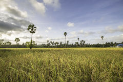 Cornfield at thailand. Rice field at thailand blue sky background Stock Photography