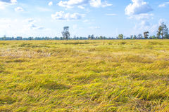 Cornfield thung bright yellow rice grain Royalty Free Stock Photo