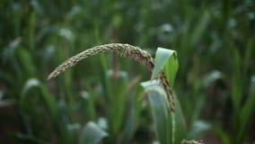 cornfield Tiges de maïs balançant sur le vent clips vidéos
