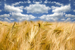 Cornfield under blue sky Royalty Free Stock Images
