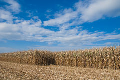 Cornfield under cloudscape Royalty Free Stock Photo