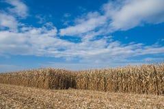 Cornfield under cloudscape. Scenic view of ripe cornfield under blue sky and cloudscape Royalty Free Stock Photo