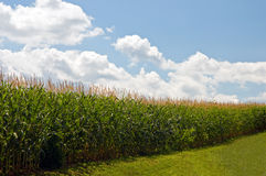 Cornfield under summer sky. A view of tall cornfield with high, fluffy clouds on a blue sky on a hot, summer day Stock Images