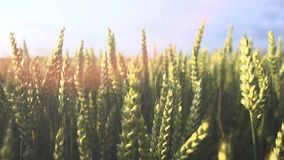 Cornfield van de landbouwtarwe de langzame motie van de zongloed stock footage