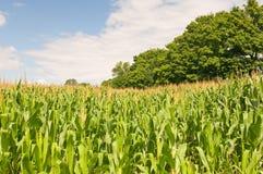 Cornfield van het land Stock Afbeelding