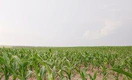Cornfield van Nebraska royalty-vrije stock afbeeldingen