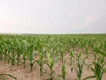 Cornfield van Nebraska stock afbeeldingen