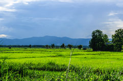 Cornfield of verdant. In Nan,Thailand Stock Photos