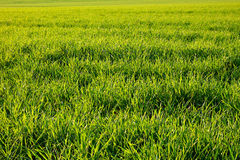 Cornfield Royalty Free Stock Photos