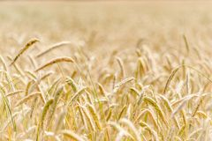 Cornfield. A cornfield of wheat in Denmark Royalty Free Stock Photo