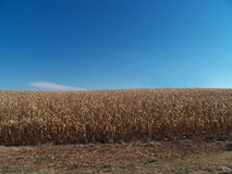 Cornfield (Wide Shot) Stock Images