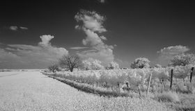 Cornfield  and Wineyard Monochrome Royalty Free Stock Photo