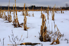 Cornfield in Winter Royalty Free Stock Photography