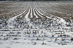 Cornfield in winter. Image of a cornfield and snow royalty free stock photos