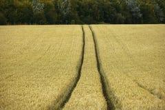 Cornfield yelden de provincies Engeland van het dorps bedfordshire huis Stock Foto
