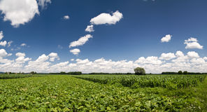 cornfieldpanorama Royaltyfri Foto