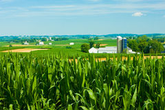 Cornfields με τα αγροκτήματα στο υπόβαθρο Στοκ εικόνα με δικαίωμα ελεύθερης χρήσης