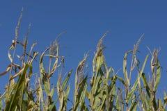 Cornfields του Iowa στοκ φωτογραφίες
