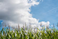 Cornfields το φθινόπωρο Στοκ φωτογραφία με δικαίωμα ελεύθερης χρήσης