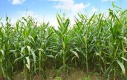 Cornfields Arkivbild