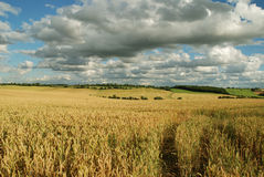 Cornfields with clouds. Essex cornfields with a moody sky royalty free stock photos