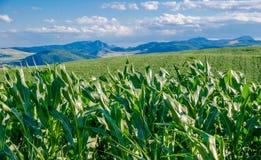 Cornfields en bergen Royalty-vrije Stock Afbeelding