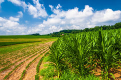 Cornfields on a farm in rural Southern York County, PA Royalty Free Stock Photo