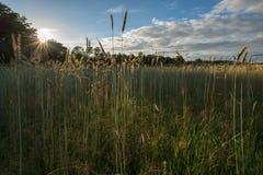 Cornfields i Nederländerna Royaltyfri Fotografi