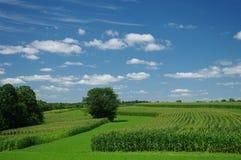 cornfields juli Arkivfoto