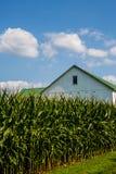 Cornfields met landbouwbedrijven op achtergrond royalty-vrije stock foto's