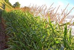 Cornfields på den bergiga bygdlantgården, solljus fotografering för bildbyråer
