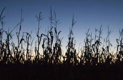 cornfieldsolnedgång Arkivfoton