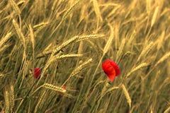cornfieldvallmo Royaltyfri Foto