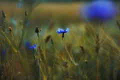 Cornflower στη συγκομιδή - χρυσή ώρα Στοκ Εικόνες