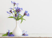 Cornflower στο βάζο στο άσπρο υπόβαθρο Στοκ Εικόνες