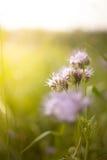 Cornflower στο φως του ήλιου πρωινού Στοκ φωτογραφία με δικαίωμα ελεύθερης χρήσης