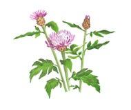 Cornflower акварели одичалый на белой предпосылке Стоковые Изображения RF