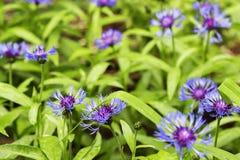 Cornflower на зеленой предпосылке, конец-вверх Стоковые Фотографии RF