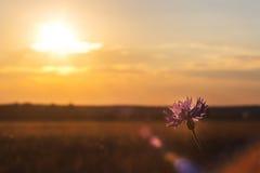 Cornflower на ясный солнечный день стоковые фотографии rf