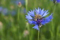 cornflower пчелы Стоковые Фото